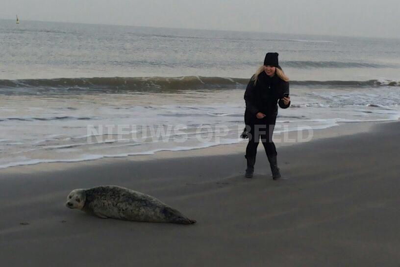 Zeehond strand Hoek van Holland weer terug in zee