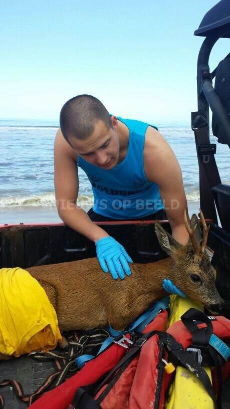 Reddingsbrigade Ouddorp bied hulp aan Ree in de zee