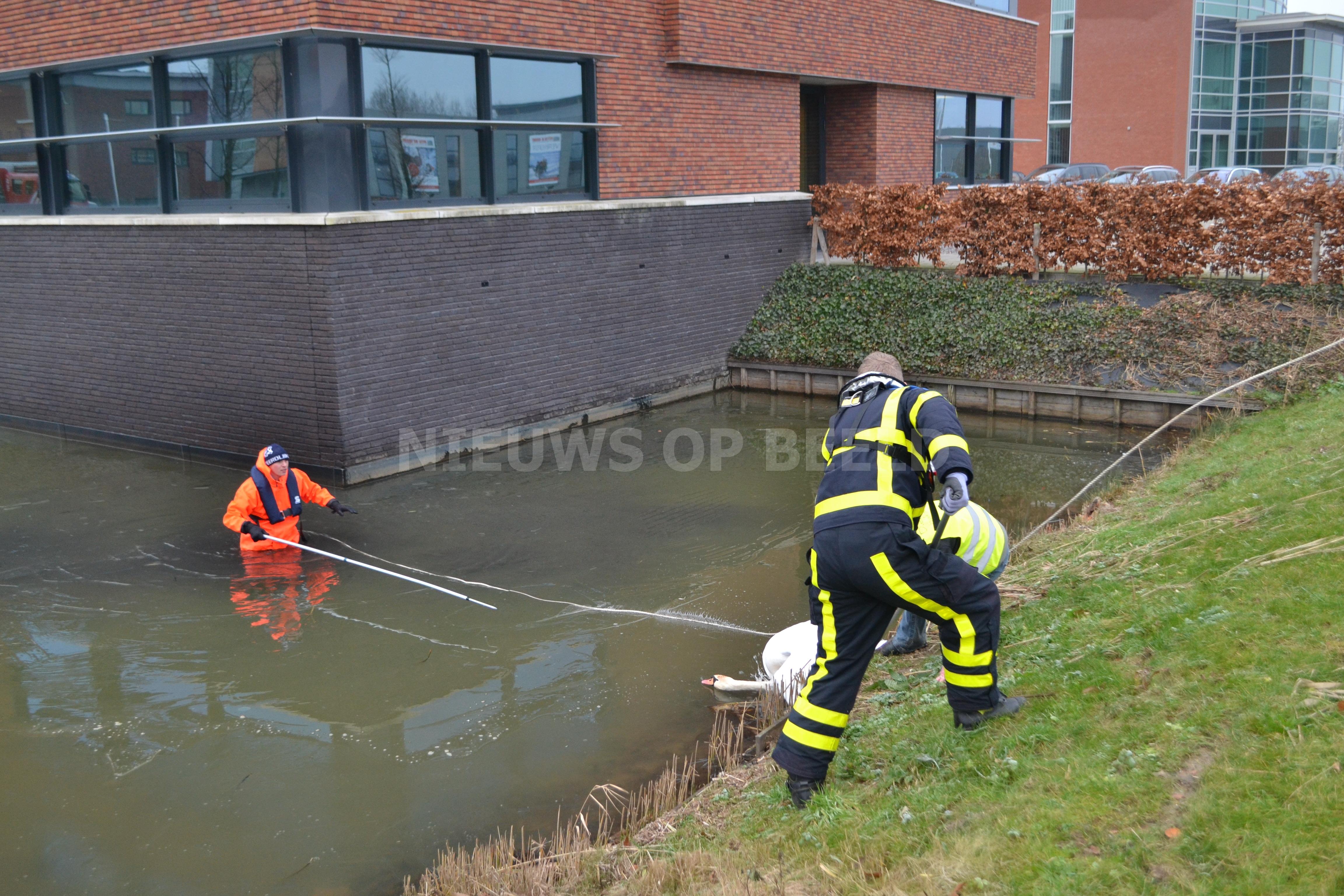 Gewonde zwaan blijkt niet gewond Langeweg Oud-Beijerland
