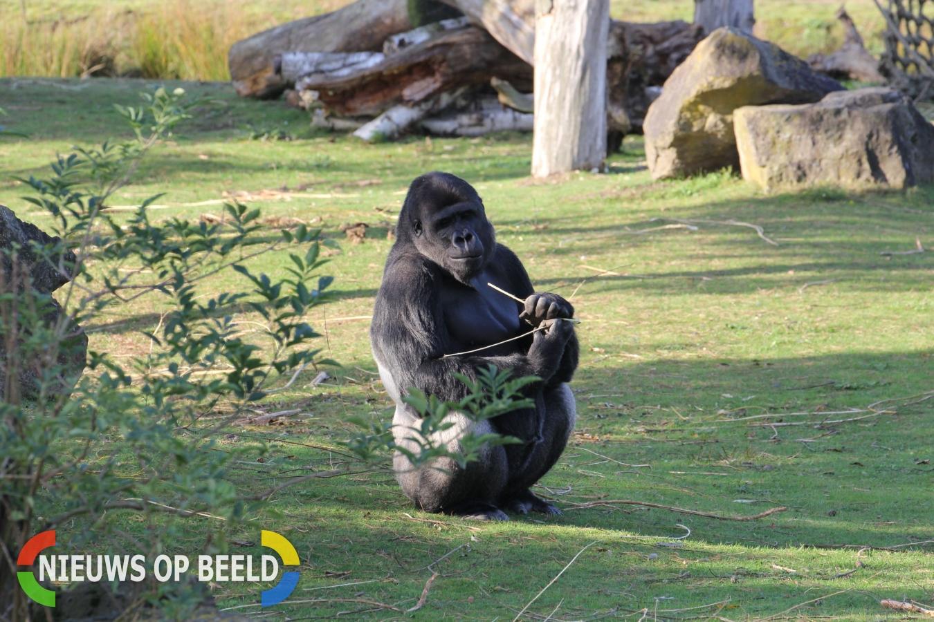 Dagje dierentuin wordt man (37) fataal tijdens aapjes kijken in Dierenpark Emmen