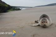 Politie vindt zeehond op strand Tweede Maasvlakte Rotterdam