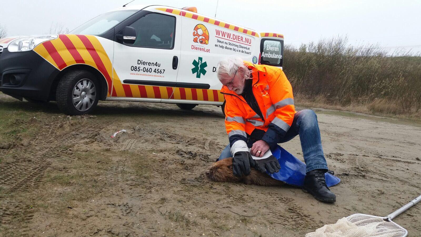 Vrijwilligers Dieren4u redden Bever in Oostvoornse Meer