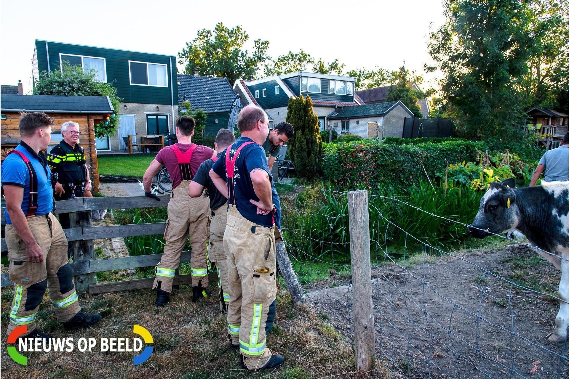 Koe met hulp van omstander uit de sloot gehaald Dorpsdijk Rhoon