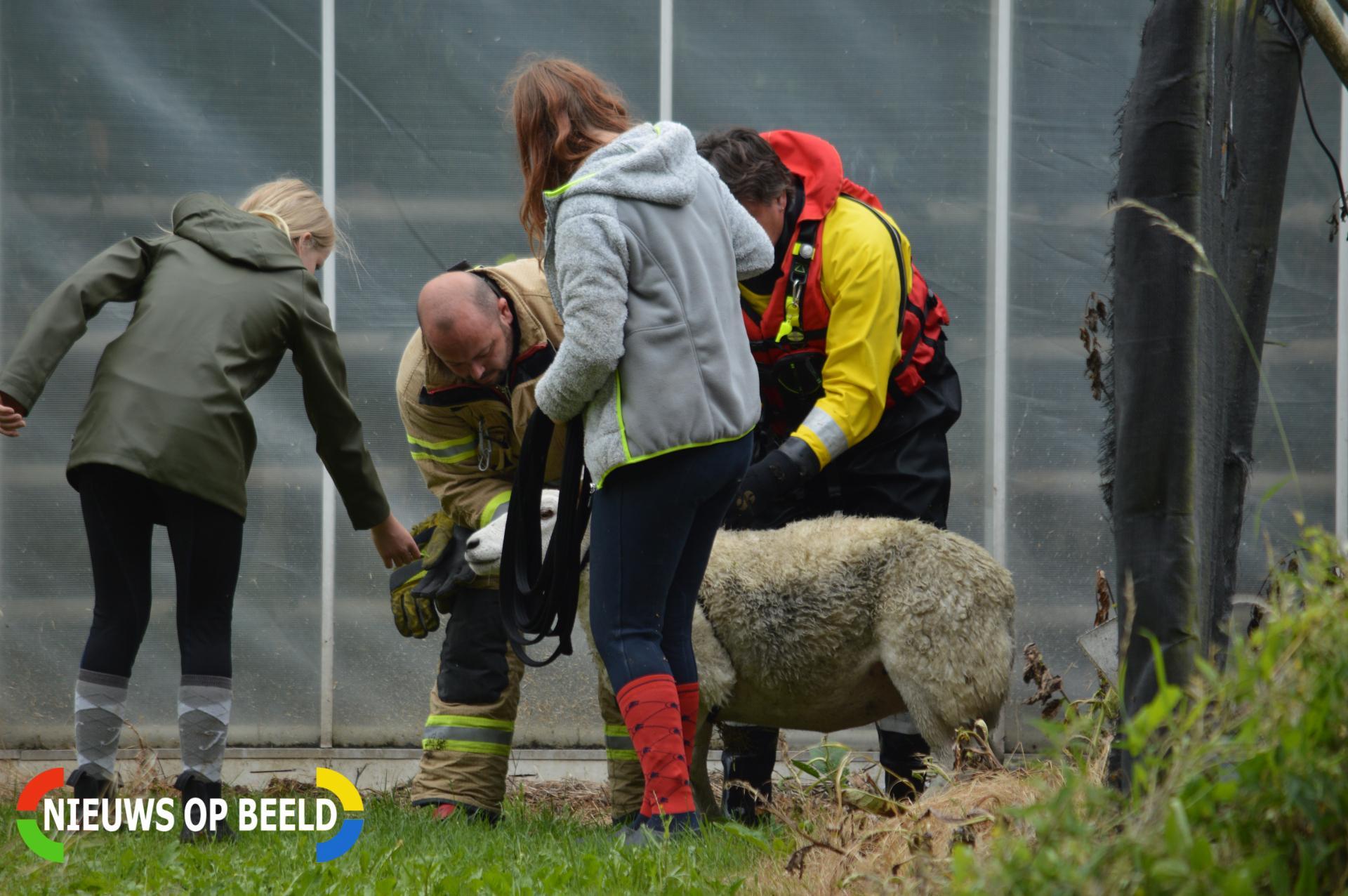 Voorbijgangers vinden schaap in het water Kooilaan Bleiswijk