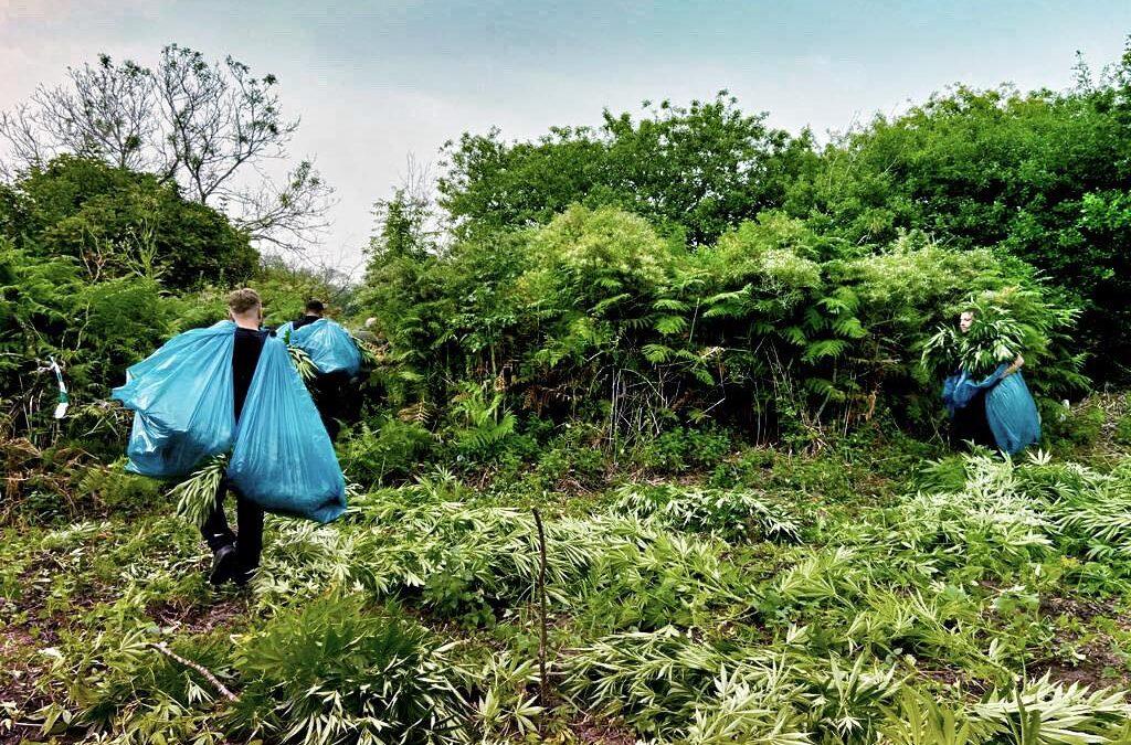 Wietplantages opgerold in natuurgebied Goeree-Overflakkee